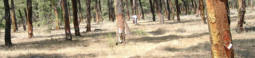 Seminario para la mejora de producción de resina en Pinus pinaster Aiton